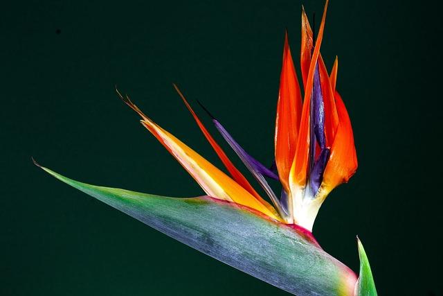 Caudata, Blossom, Bloom, Bird Of Paradise Flower