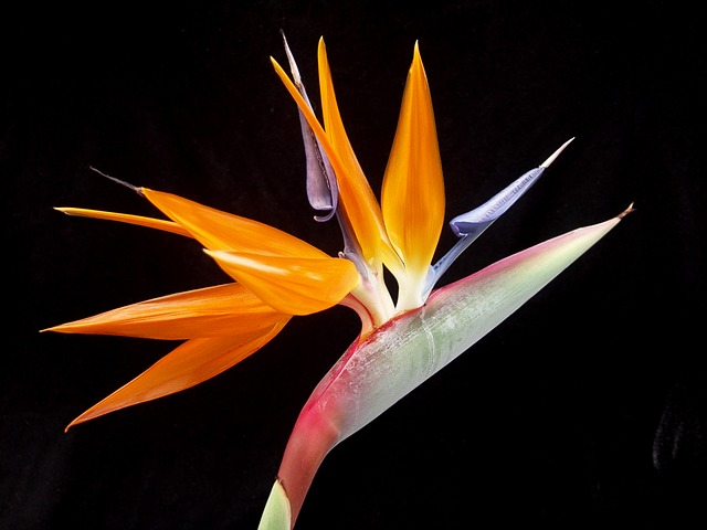 Bird Of Paradise, Flower, Tropical, Exotic