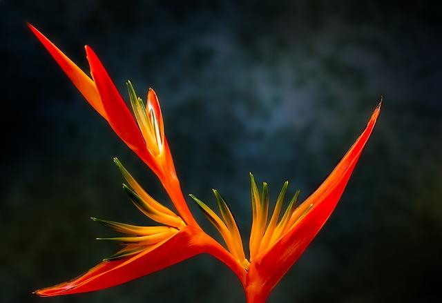 Bird Of Paradise, Flower, Paradiesvogelblume, Exotic