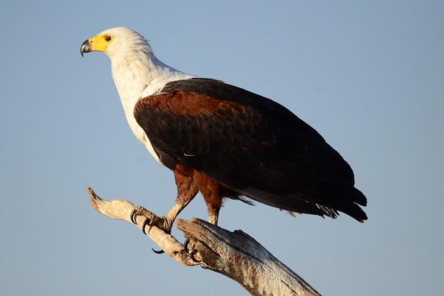 Osprey, Adler, Bird, Bird Of Prey, Tiwer, Africa