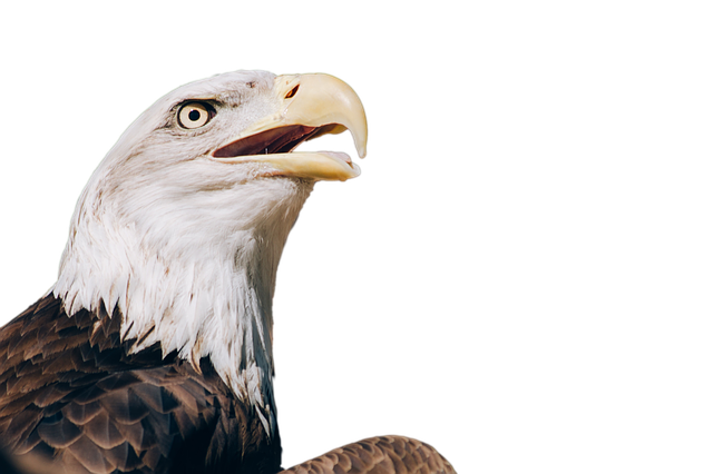 Adler, Bald Eagle, Bird, Bird Of Prey