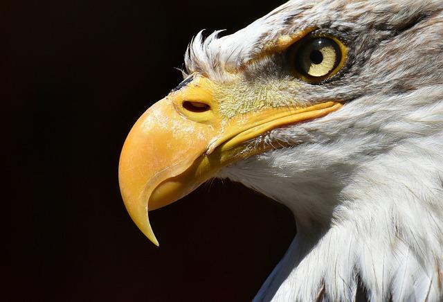 Adler, Bald Eagle, Bird, Raptor, Bird Of Prey, Bill