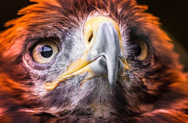 Adler, Golden Eagle, Raptor, Bird, Bird Of Prey, Bill