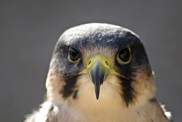 Peregrine, Bird, Beak, Head, Bird Of Prey