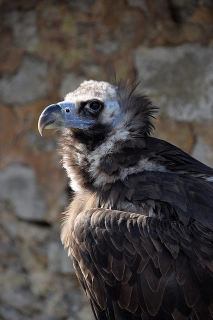 Vulture, Black Vulture, Falkner, Raptor, Bird Of Prey
