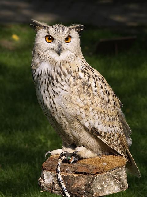 Eagle Owl, Raptor, Falconry, Owl, Bird Of Prey