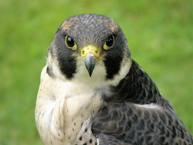 Hawk, Bird, Falcon, Bird Of Prey