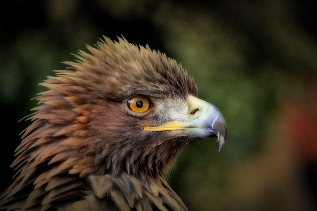 Golden Eagle, Adler, Bird, Raptor, Bill, Bird Of Prey
