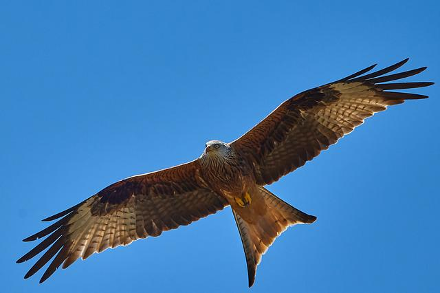 Milan, Flight, Sky, Bird, Wing, Bird Of Prey