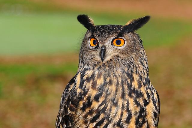 European Eagle Owl, Owl, Bird Of Prey, Sharp Look