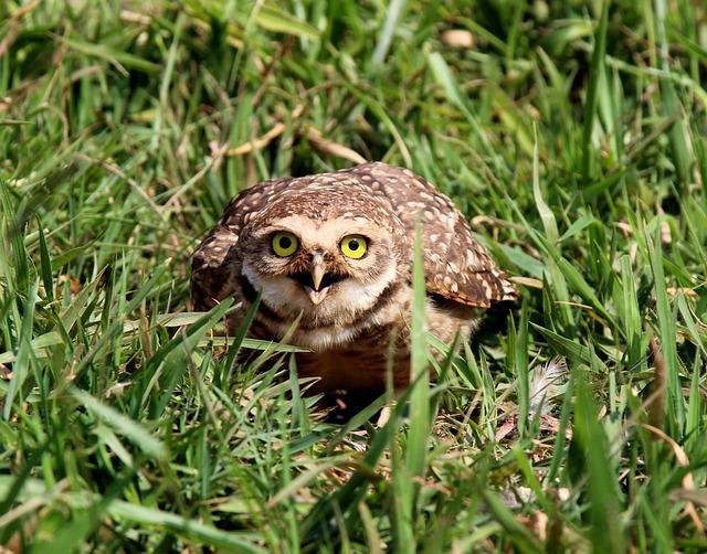 Owl, Burrowing Owl, Mad, Looking, Nest, Bird Of Prey