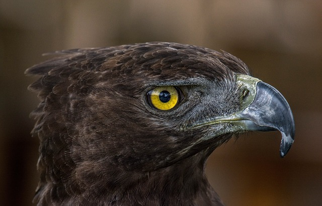 Bird Of Prey, Adler, Animal World, Bird, Prey