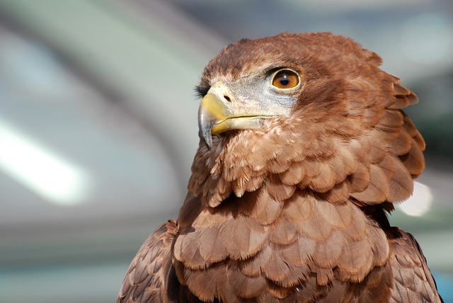 Eagle, Raptor, Bird Of Prey, Predator, Falconry