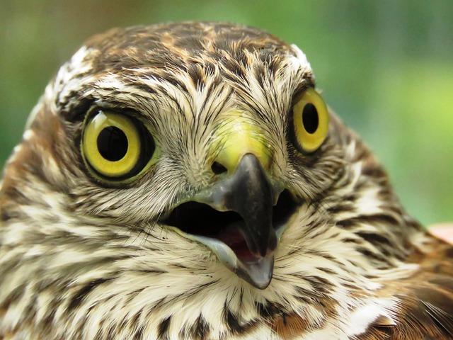 Sperber, Raptor, Plumage, Bird Of Prey, Bill, Close