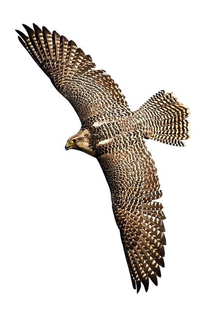 Falcon, Bird Of Prey, Bird, Wild Animal, Nature