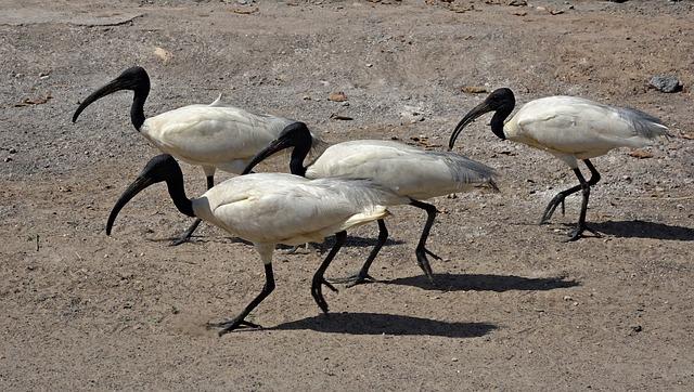Bird, Ibis, Black-headed Ibis, Oriental White Ibis