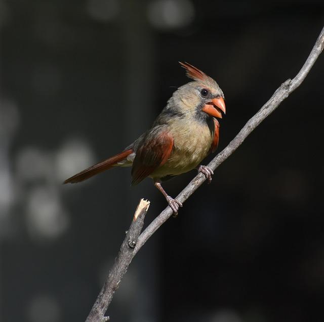 Bird, Wildlife, Nature, Animal, Outdoors, Cardinal