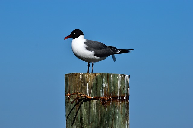 Bird, Wildlife, Nature, Outdoors, Sky, Laughing Gull