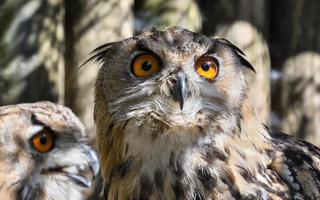 Owl, Grand Duke Of Europe, Bird, Look, œil, Eyes