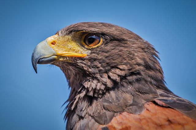 Harris Hawk, Parabuteo Unicinctus, Bird, Bird Of Prey