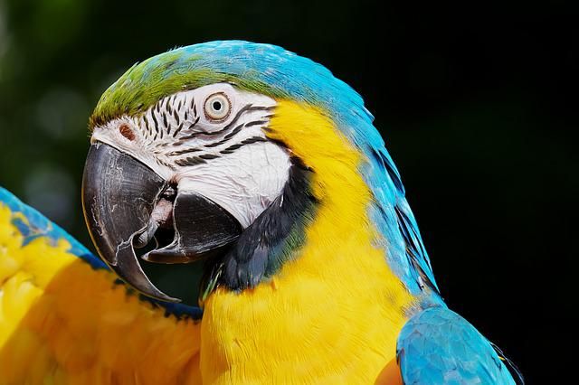 Parrot, Blue And Yellow Macaw, Bird, Macaw