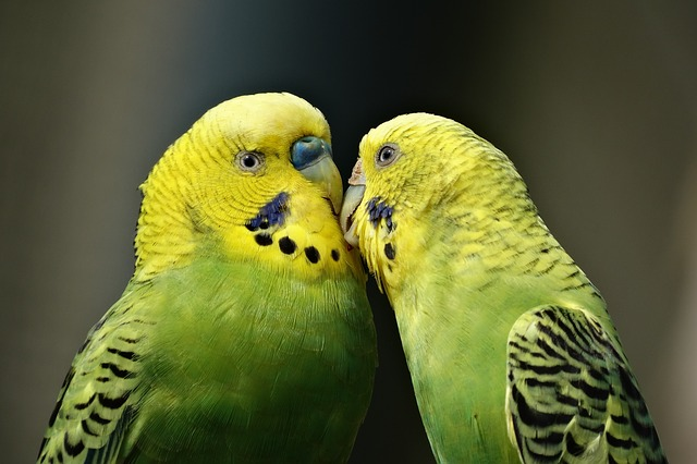 Parrots, Couple, Kiss, Budgerigar, Bird, Parakeet