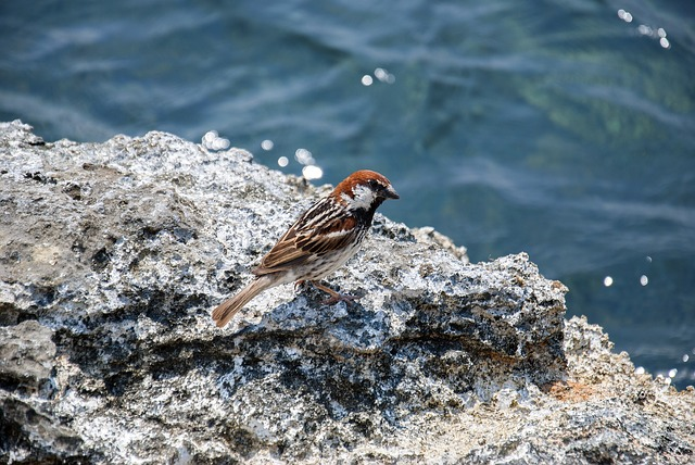 Tree Sparrow, Bird, Plumage, Passer Montanus