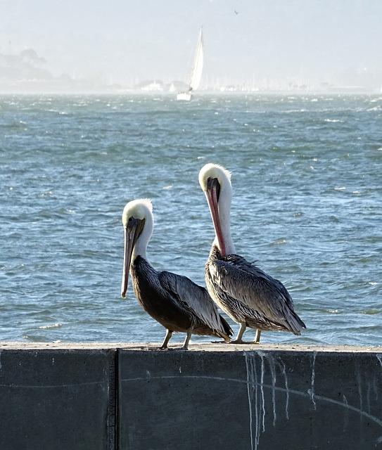 Pelican, Bird, Brown Pelican, Pelecanus