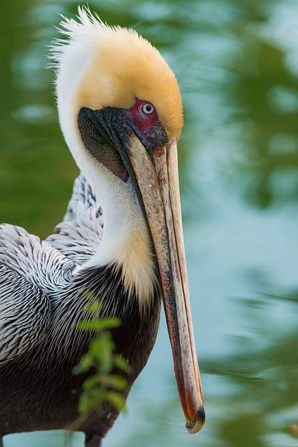 Pelican, Bird, Wings, Nature, Animal, Beak
