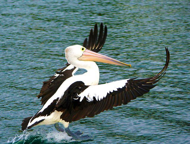 Pelican, Bird, Nature