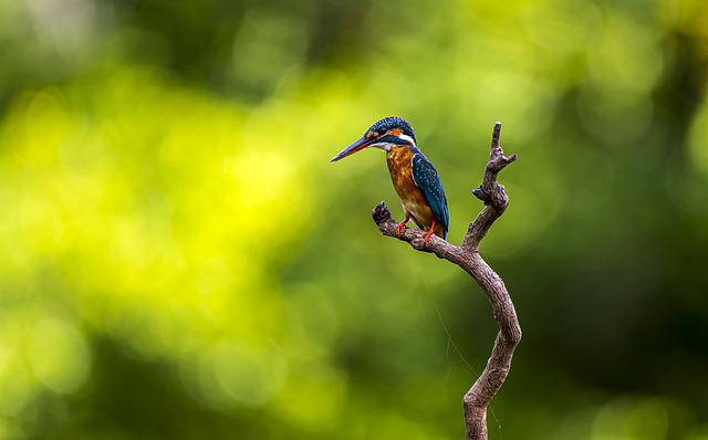 Kingfisher, Bird, Perched, Animal, Feathers, Plumage
