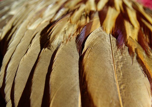 Feathers, Bird, Pheasant