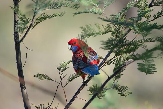 Crimson Rosella, Platycercus Elegans, Bird, Australian