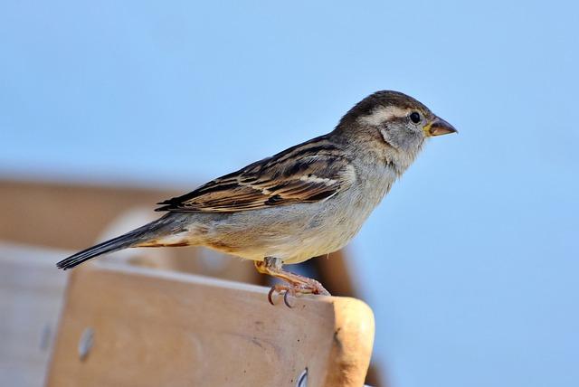 Sparrow, Sperling, Bird, Animal, Birdie, Plumage