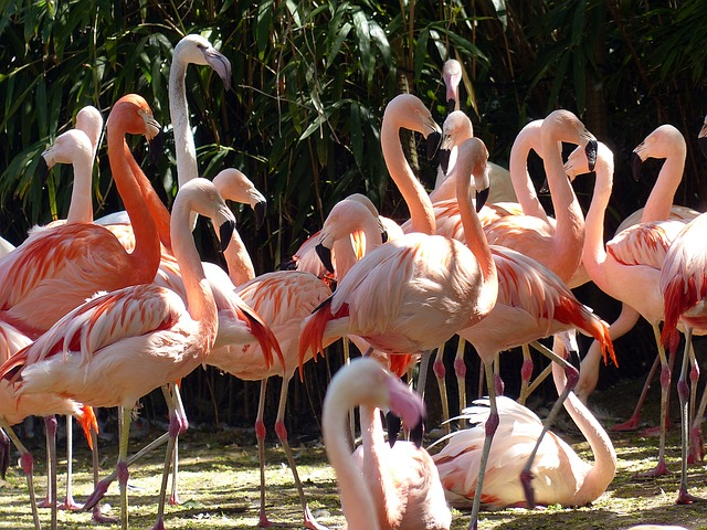 Flamingos, Birds, Pink, Bird, Pink Flamingo, Plumage