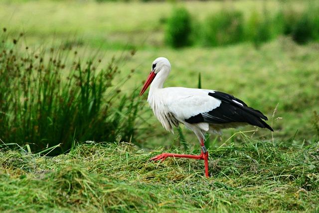 Stork, Bird, Animal, Ciconia Ciconia, Feather, Plumage