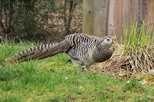 Pheasant, Goldfasan, Female, Bird, Galliformes, Plumage