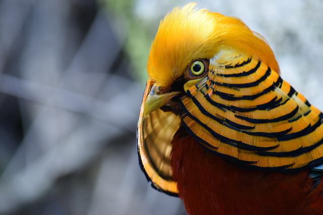 Bird, Close Up, Nature, Plumage, Feather, Gold, Red