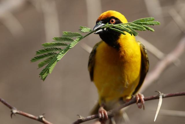 Bird, Yellow, Botswana, Widahfinken, Feather, Plumage