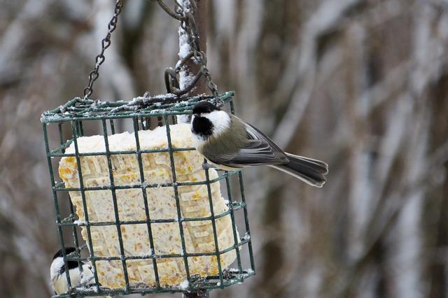 Chickadee, Passerine Bird, Poecile Atricapillus, Bird