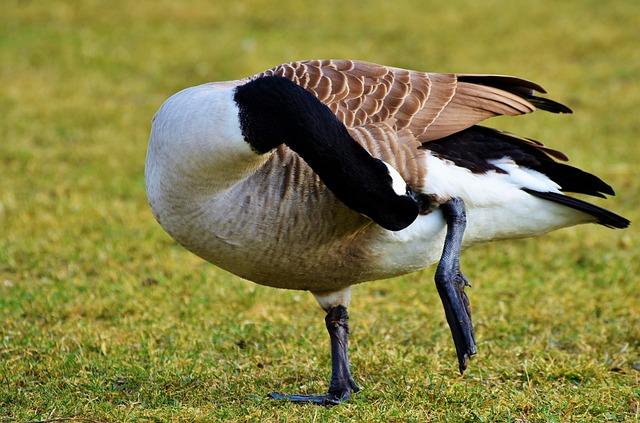 Wild Goose, Goose, Water Bird, Bird, Poultry