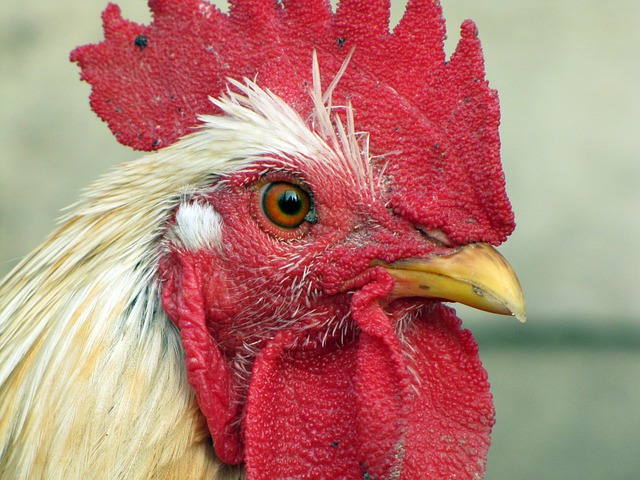 Hen, Bird, Poultry