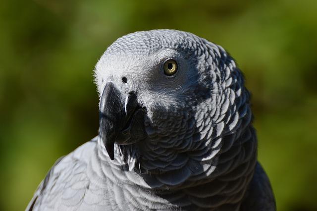 African Grey Parrot, Parrot, Bird, Psittacus Erithacus