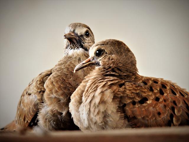 Ruddy Ground Dove, Weasels, Birdie, Puppy, Bird