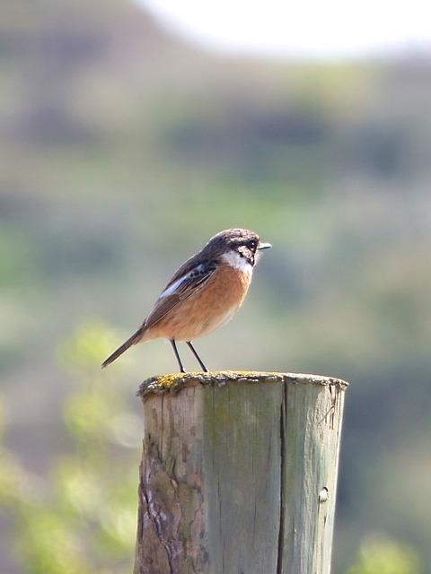 Redstart, Phoenicurus Phoenicurus, Bird, Pylon, Lookout