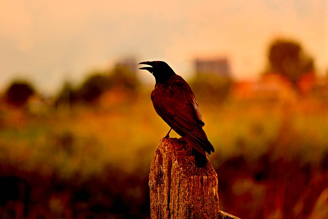Crow, Bird, Raven, Blackbird, Animal, Plumage, Beak