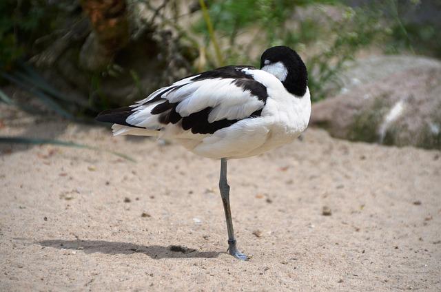 Avocet, Bird, Water Bird, Recurvirostra Avosetta