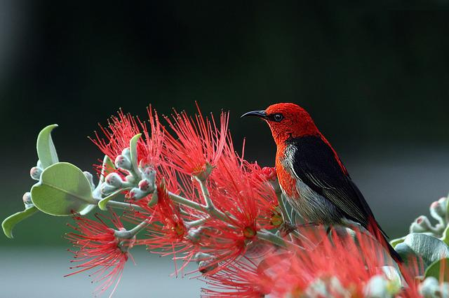 Scarlet Honeyeater, Bird, Red, Feathers, Nature