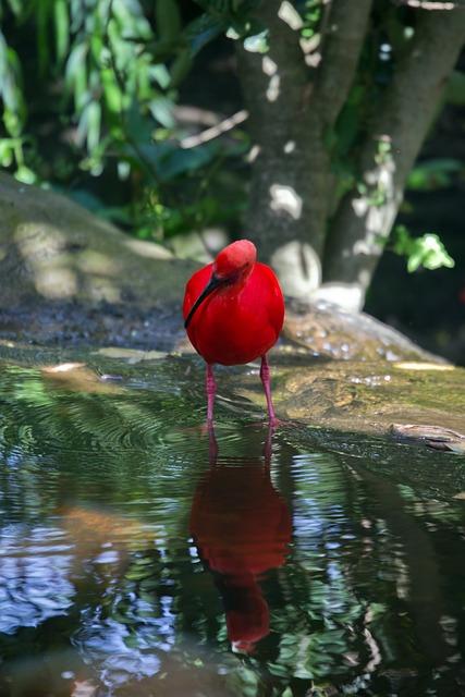 Scarlet Ibis, Ibis, Red, Bird, Wild, Pond