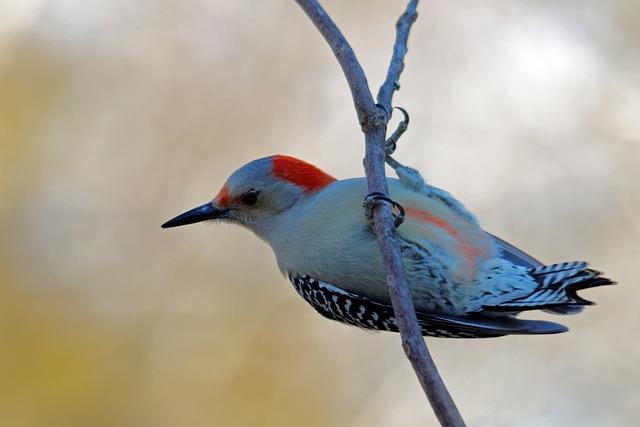 Red-bellied Wood Pecker, Bird, Birding, Red, Avian